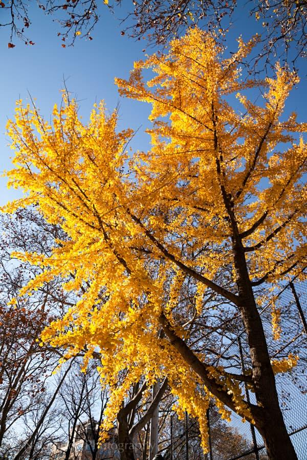 Fall Colours in Manhattan