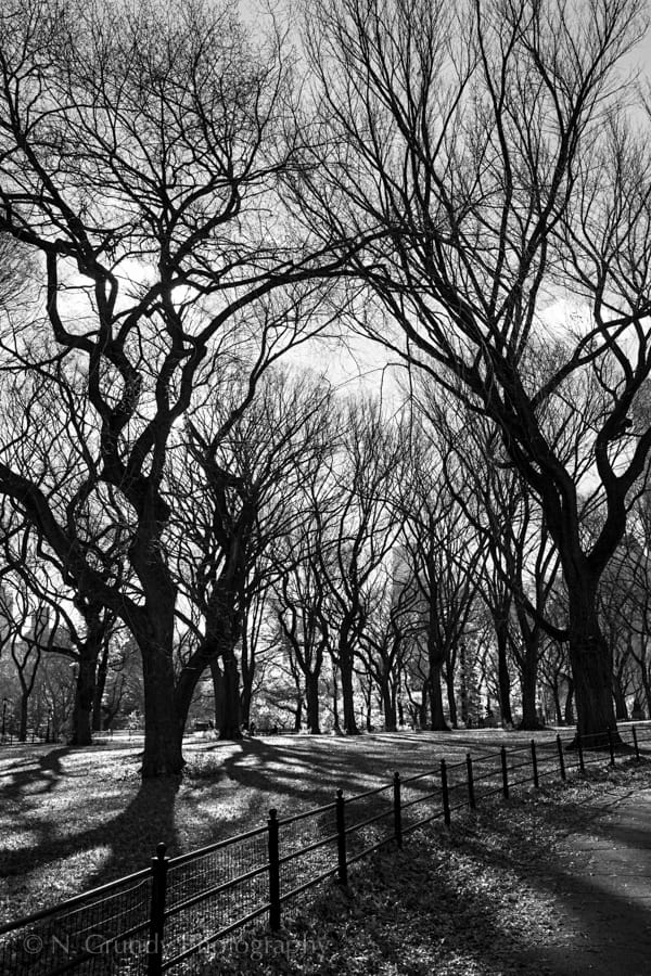 Central Park Winter Trees