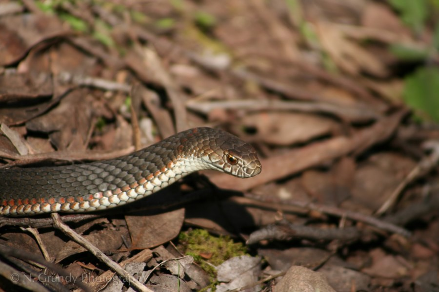 Photo of Copperhead at Cathedral Range