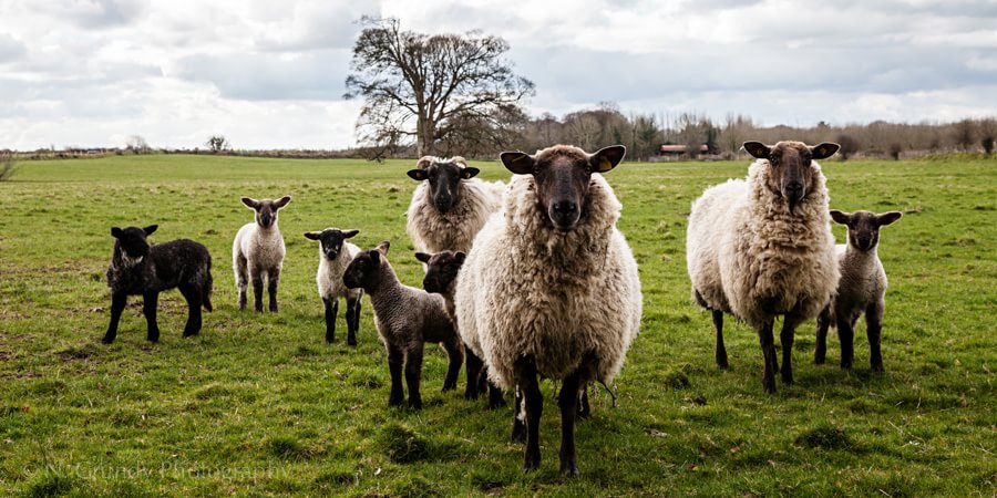 County Galway Sheep Photograph