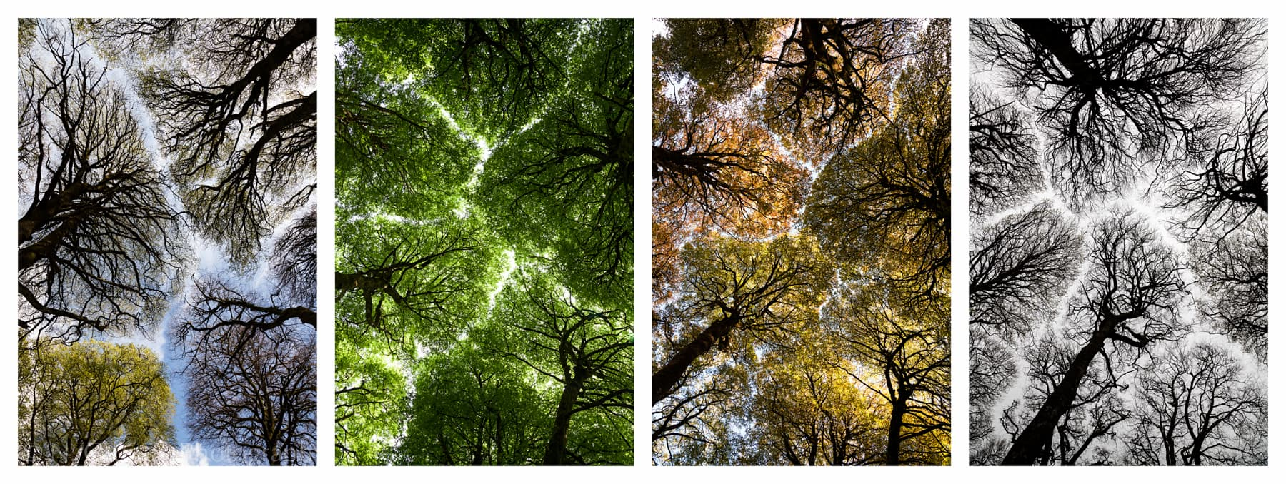 Photos of four seasons of crown shyness trees
