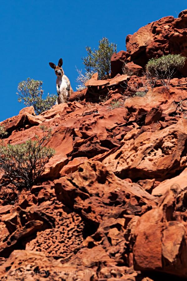 Curious Kangaroo Photo