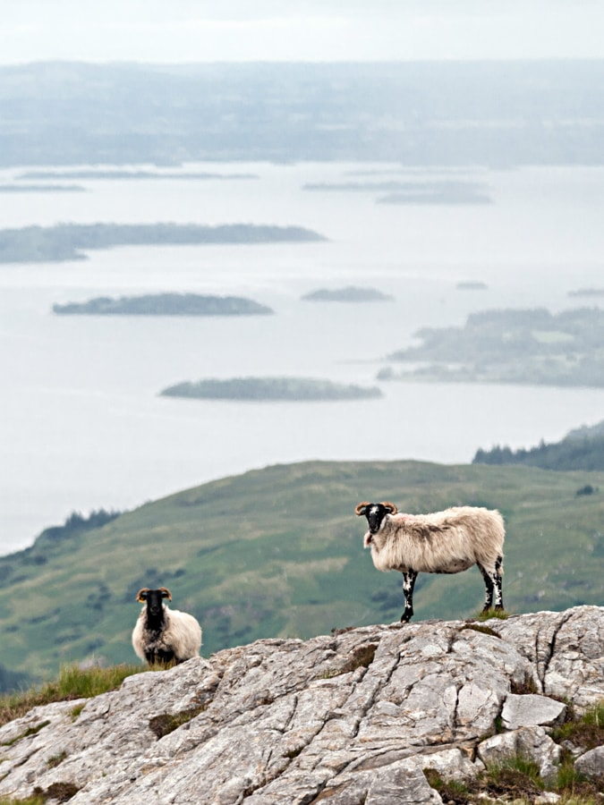 Sheep on Lackavrea with Lough Corrib Photo