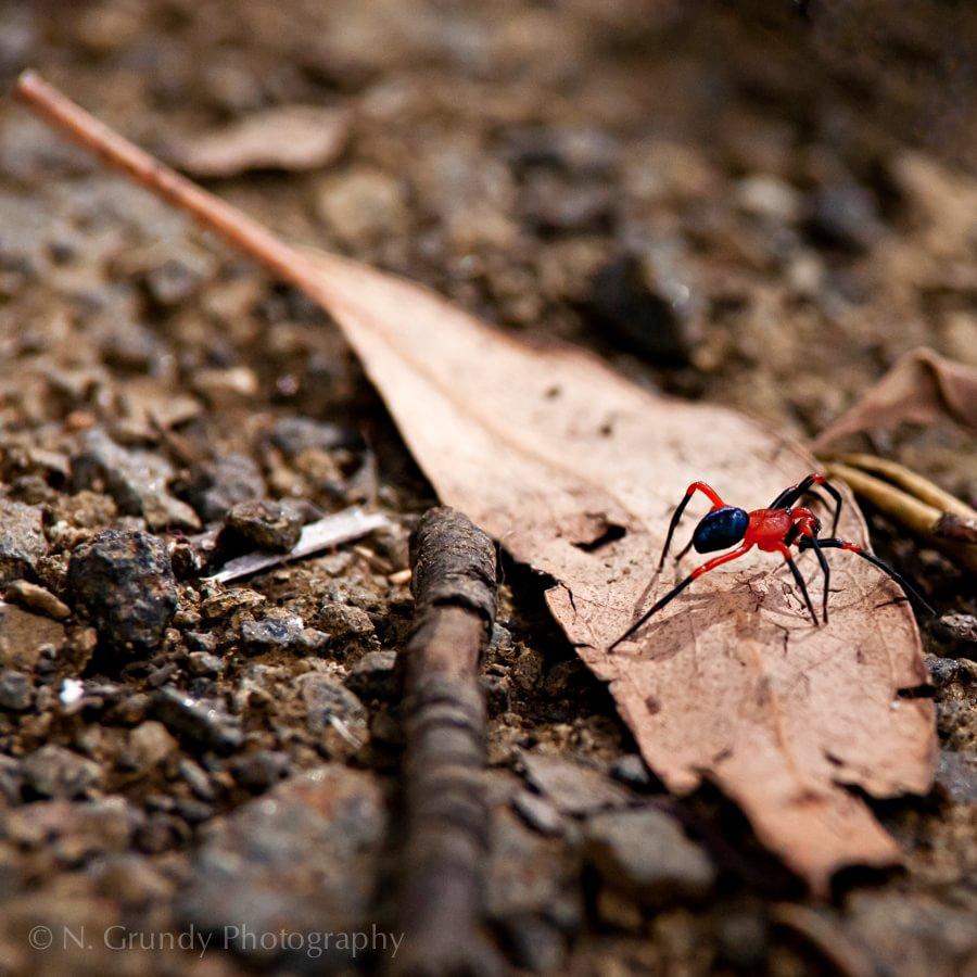 Male Nicodamus Peregrinus Spider