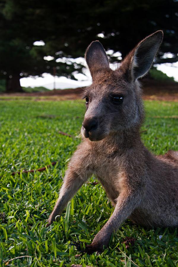 Murramarang Kangaroo