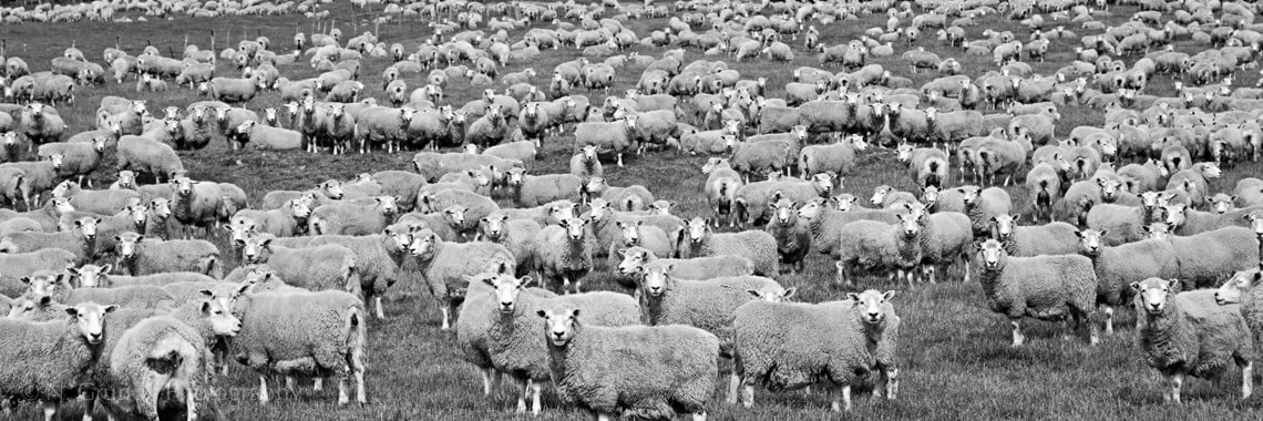 New Zealand Sheep Photo