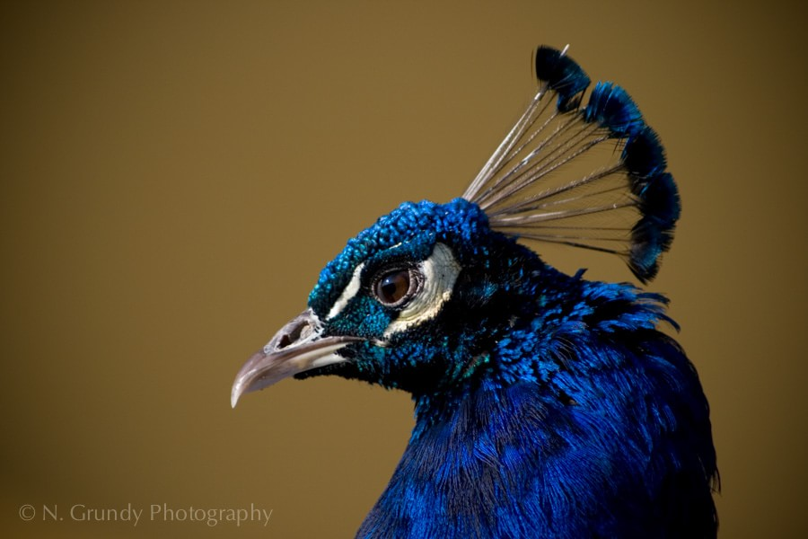 Peacock Portrait Photo