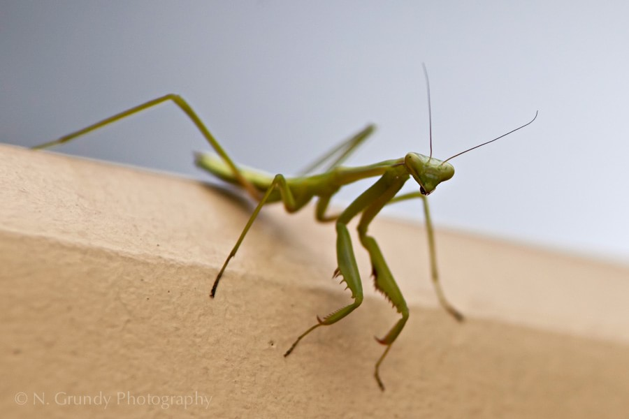 Praying Mantis by Nicholas Grundy Photography