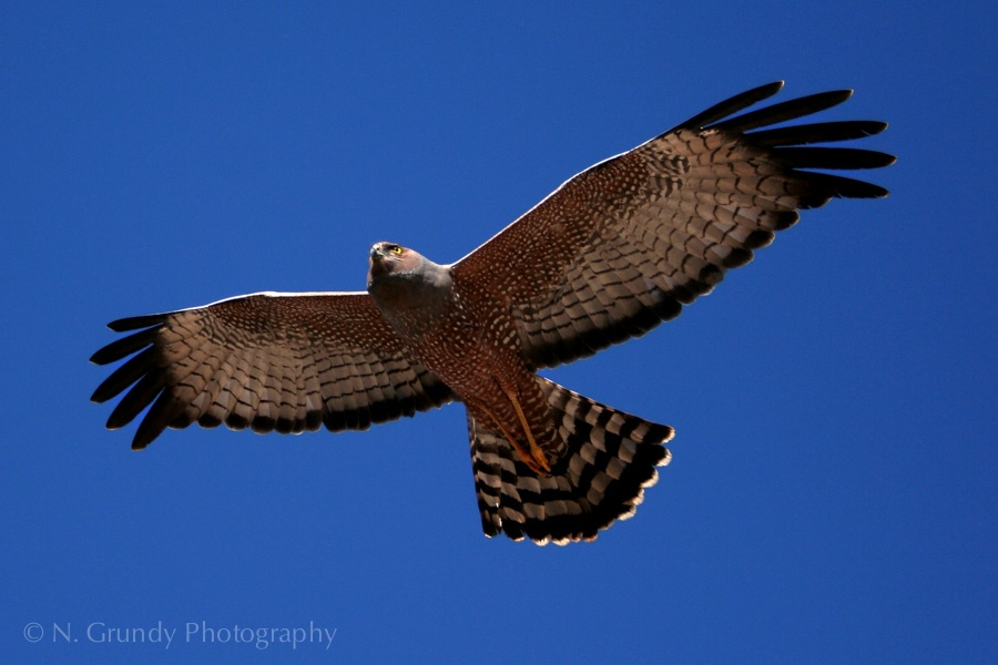 Red Spotted Harrier Photo