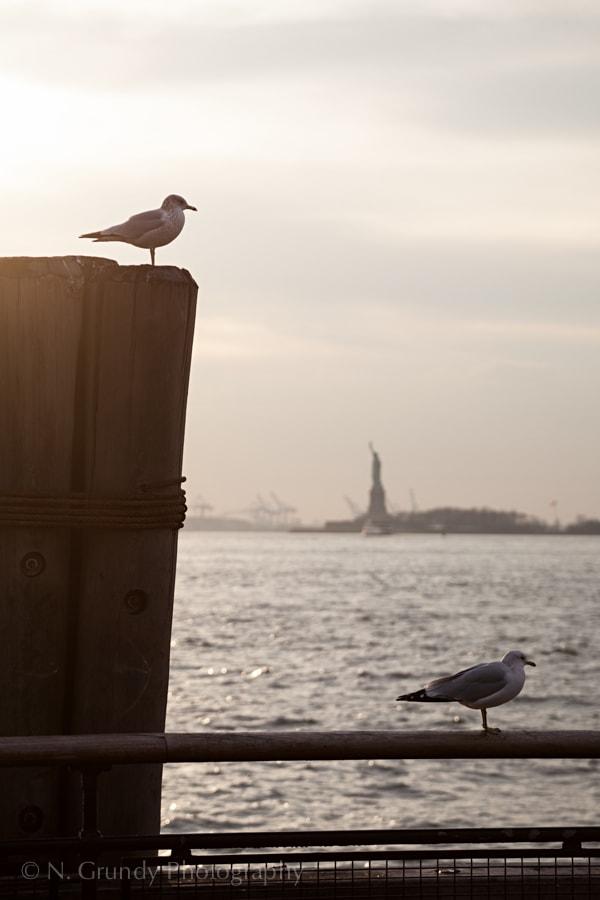NY Seagulls